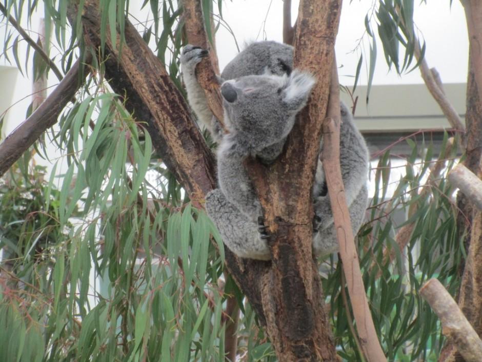 27年度お別れ遠足 コアラは木の上でお昼寝の最中です。