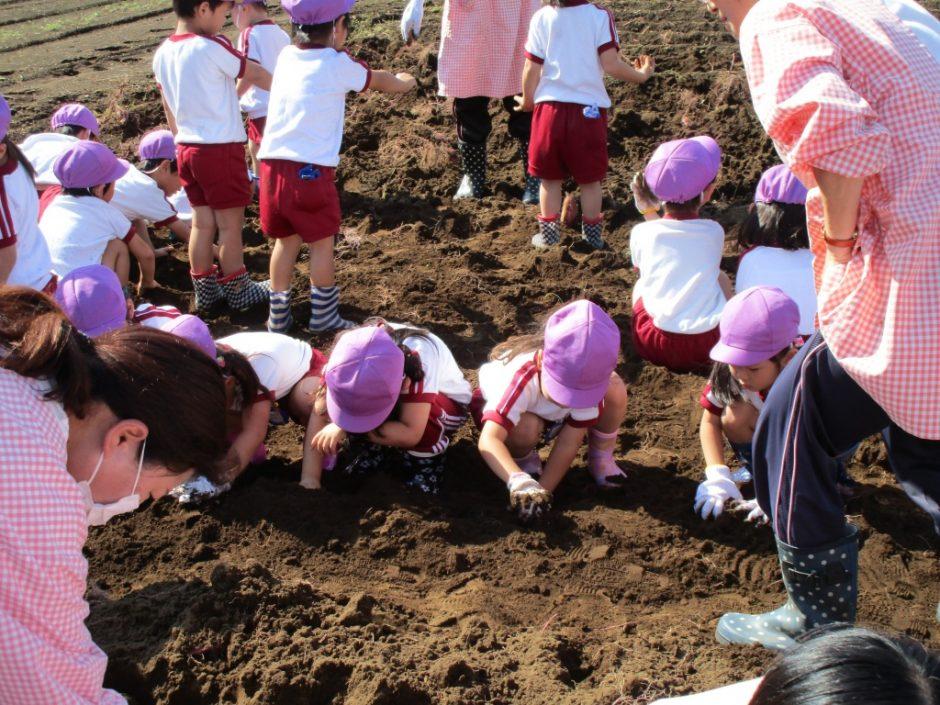 28年サツマ芋掘り10月20日 なかなかおいもが見つからないよ~