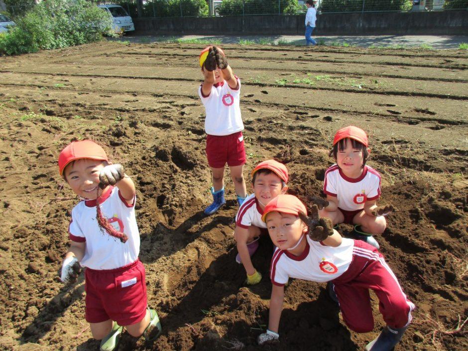 28年サツマ芋掘り10月20日 各クラス1箱づつの収穫でした。でも食べれば甘くておいしいお芋でした。