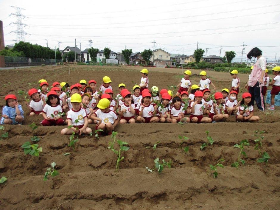サツマイモの苗を植えました。6月1日 きく組さんとばら組さんがサツマイモの苗を植えました。