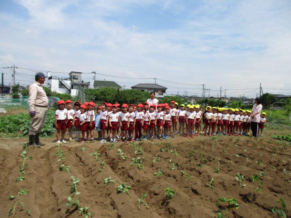 サツマイモの苗を植えました。6月1日 皆が大切に植えたサツマイモの苗が収穫できるのは11月です。給食でおいしく食べられるように育てていきます。