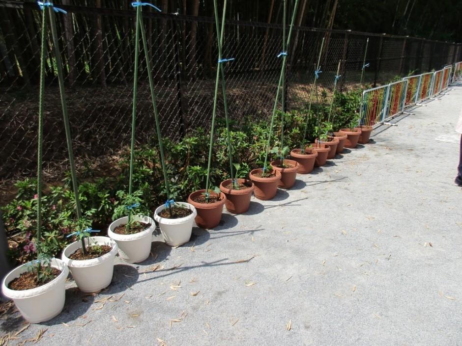 野菜苗を植えました。「早く大きくな~れ」 おいしい実がなるといいな。