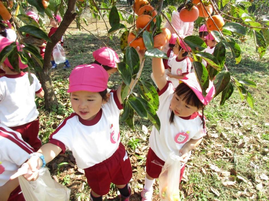柿狩り。10月9日柿狩り日より 大きくってとれないよ。