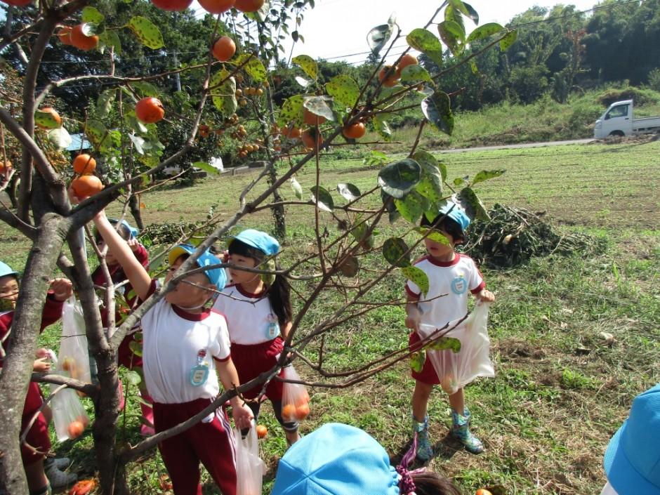 柿狩り。10月9日柿狩り日より 大きな柿見つけたよ。