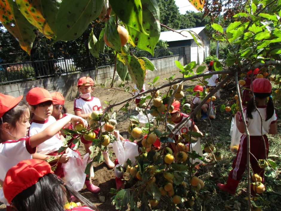 柿狩り。10月9日柿狩り日より いっぱい成ってて取りきれないよ。