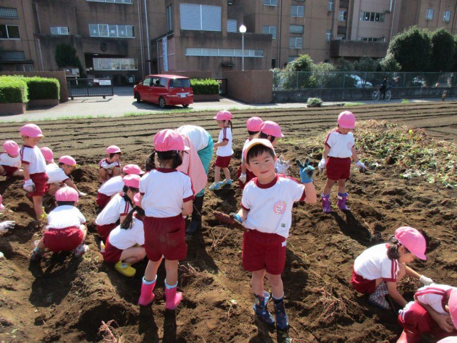 28年サツマ芋掘り10月20日 さくら組さんも大きなお芋は掘れませんね。