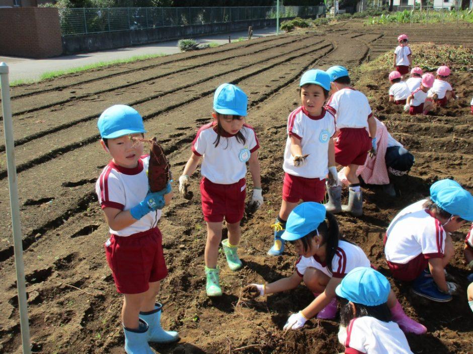 28年サツマ芋掘り10月20日 やっと大きなおいもが見つかりました。良かったですね。
