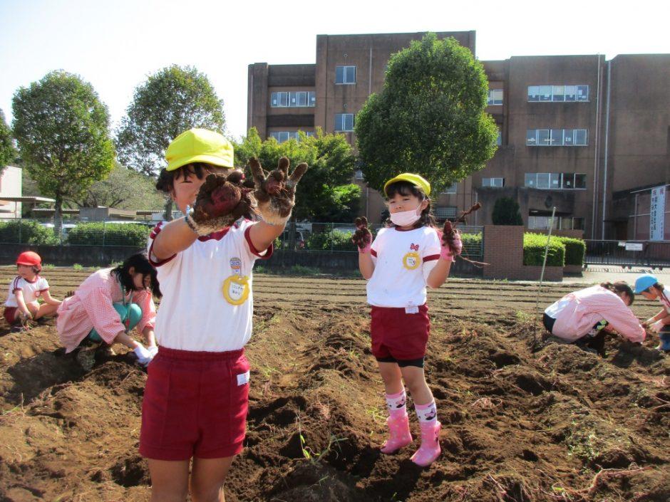 28年サツマ芋掘り10月20日 小さいおいもがとれました。