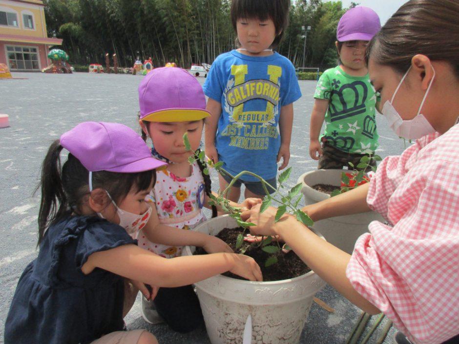 お野菜の苗植えをしましたよ(*^-^*) 年少さんはミニトマトを植えました。みんな真剣です( *´艸`)