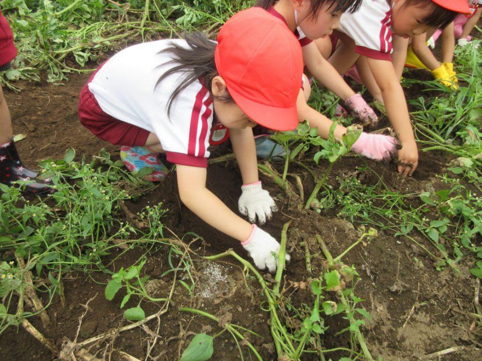 じゃがいも掘りに行ってきました みんなが一生懸命掘ったおいものお土産、お家で味わってね!