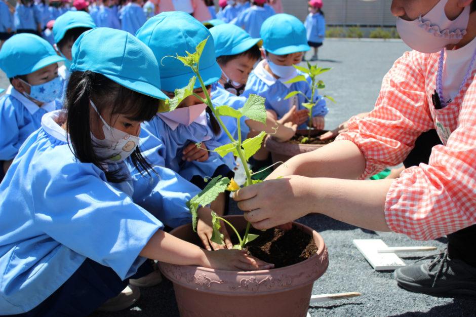 野菜の苗を植えました 年中さんは「きゅうり」と「ピーマン」を植えています♪