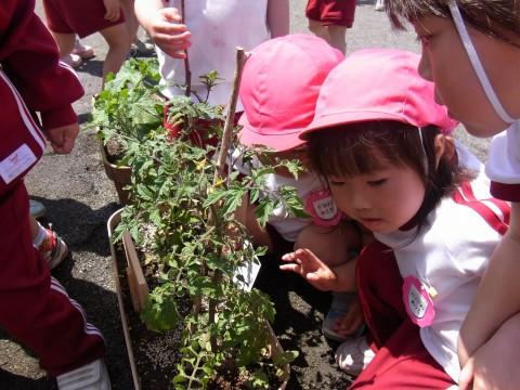 野菜の栽培 興味深々・・・早く大きくならないかなあ~~??