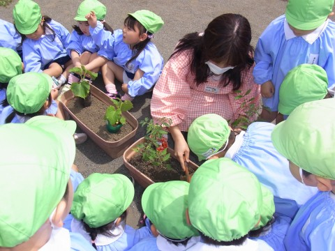 野菜の苗植え ゆり3 トマトとキュウリ