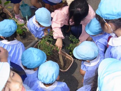 野菜の苗植え ゆり1 トマトとキュウリ