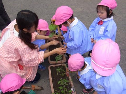 野菜の苗植え もも1 トマトとキュウリ