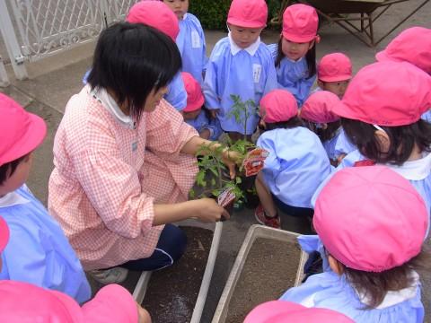 野菜の苗植え もも2 トマトとキュウリ